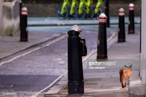 A wild fox walks through the City of London District at night on March 28 2020 in London England British Prime Minister Boris Johnson announced...
