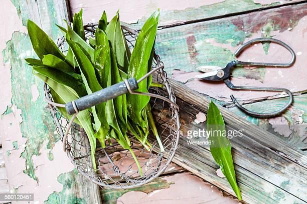 Wild garlic, Allium ursinum, in wire basket