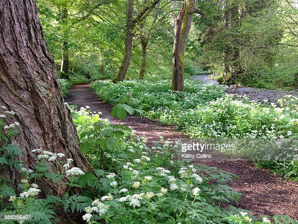 wild garlic and cow parsel woodland walk - crieff stock pictures, royalty-free photos & images