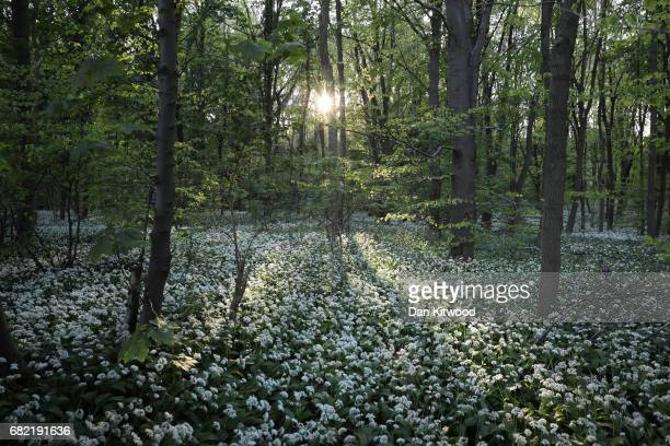 Wild Garlic covers a woodland floor on May 10, 2017 in Scunthorpe, England. Wild garlic, which is currently flowering, is growing in popularity...