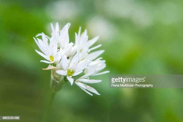 wild garlic flower head - ail des ours photos et images de collection