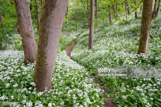 wild garlic flowering in spring woodland in england - footpath stock pictures, royalty-free photos & images
