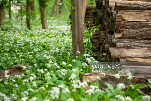 wild garlic flowers nearby stacked firewood - ail des ours photos et images de collection