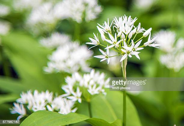 wild garlic growing in woodland, whatstandwell, derbyshire - ail des ours photos et images de collection