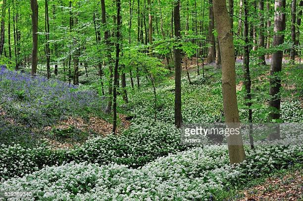 Wild garlic / Ramsons and bluebells flowering along forest brook in beech deciduous woodland