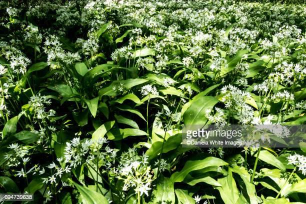 Wild Garlic - Ramsons, Buckrams or Wood Garlic, Allium ursinum