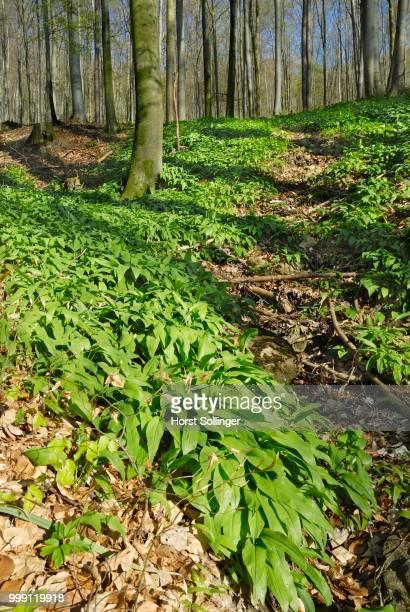 Wild garlic (Alium ursinum) with buds in a mountain forest, in Neubeuern, Bavaria, Germany