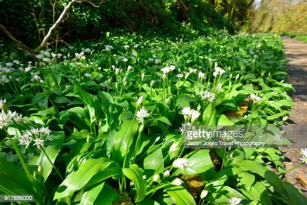 wild garlic with flowers - ail des ours photos et images de collection