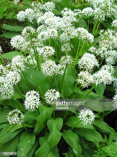 ail sauvage, allium ursinum l. - ail des ours photos et images de collection