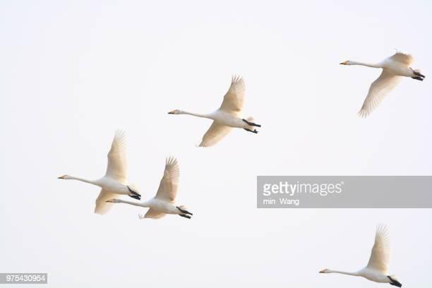 Wild gees in flight, Henan, China