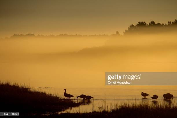Wild Geese in the Mist at Dawn