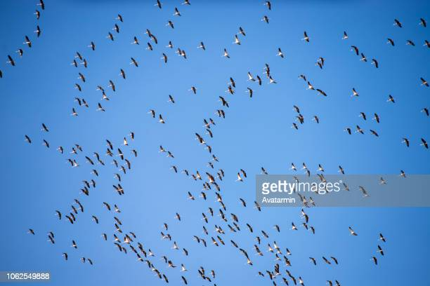 wild geese - duck bird stock pictures, royalty-free photos & images