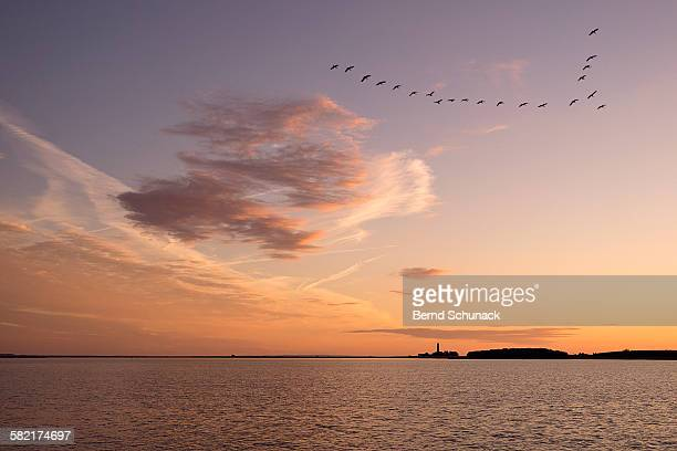 wild geese preparing for sunset landing - fehmarn stock-fotos und bilder