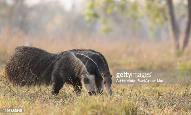 wild giant anteater searching for food - giant anteater imagens e fotografias de stock