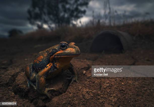 wild giant banjo frog (limnodynastes interioris) in outback australia at dusk. - ditch stock photos and pictures