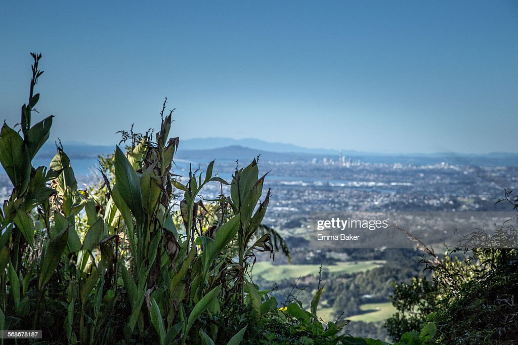 Wild Ginger with view of Auckland in the distance : Stock Photo