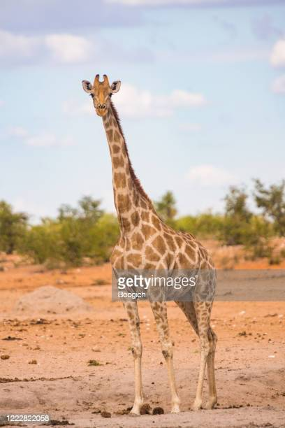 wild giraffe standing outdoors in etosha national park namibia africa - long neck animals stock pictures, royalty-free photos & images