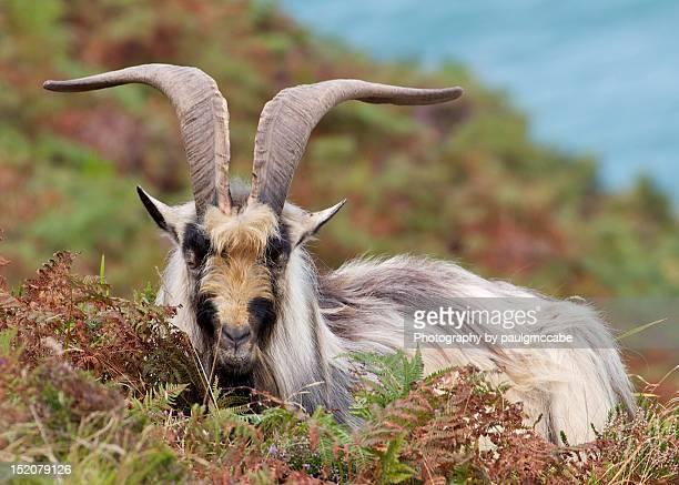wild goat in valley of rocks - exmoor national park 個照片及圖片檔