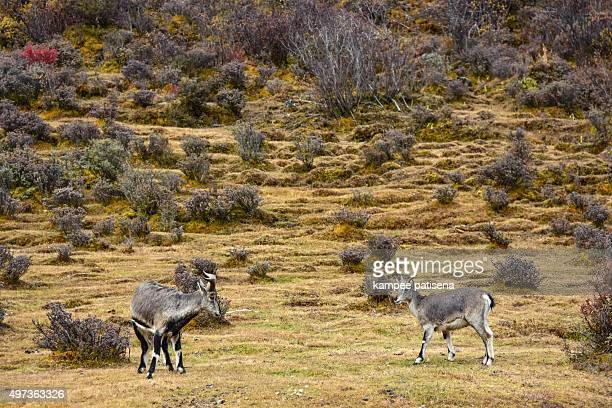 Wild goat in Yading national level reserve, Daocheng, Sichuan Province, China