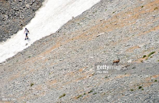 Wild goat (Rυρicapra rupicapra balcanica), Mount Olympus