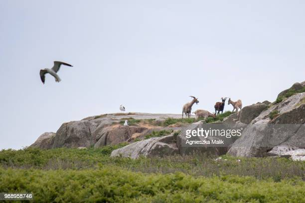 wild goats at dalkey island - dalkey stock pictures, royalty-free photos & images