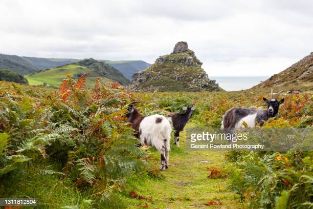 wild goats, england - geraint rowland stock pictures, royalty-free photos & images