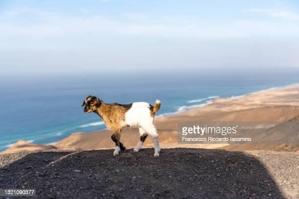 wild goats on the mountain coast of fuerteventura, near cofete, canary islands - francesco riccardo iacomino spain foto e immagini stock