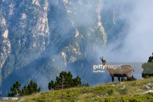 Wild goats Ricapra rupicapra balcanica above 2500m. High near Skourta peak in mount Olympus in Greece. Mount Olympus is the highest mountain in...