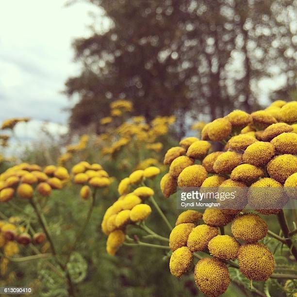 wild golden flowers - tansy stock pictures, royalty-free photos & images