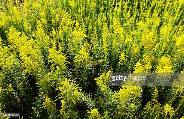 wild goldenrod - goldenrod stock pictures, royalty-free photos & images