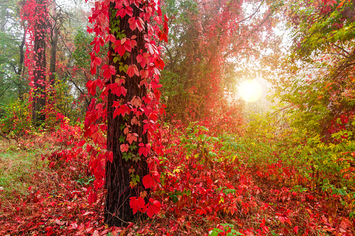 Wild grapes in a misty forest in autumn - gettyimageskorea