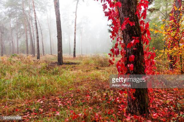 Wild grapes in a misty forest in autumn