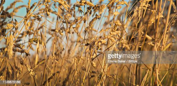 wild grass at sunrise - emma baker stock pictures, royalty-free photos & images