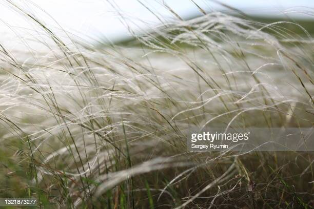 wild grass in the wind - featherweight stock pictures, royalty-free photos & images