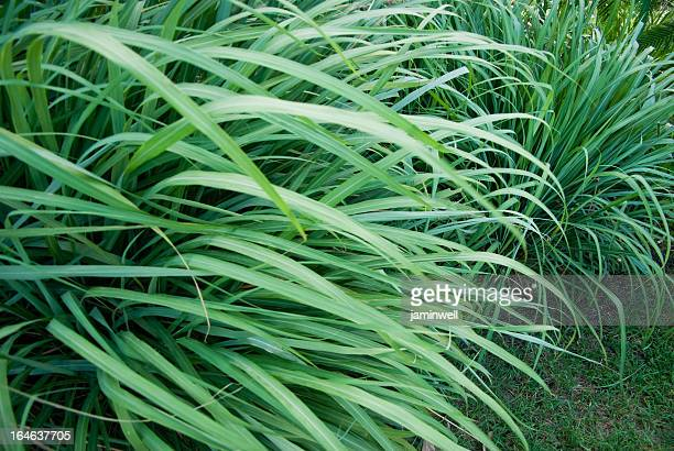 Citronella Stock Pictures Royalty Free Photos Images Getty Images