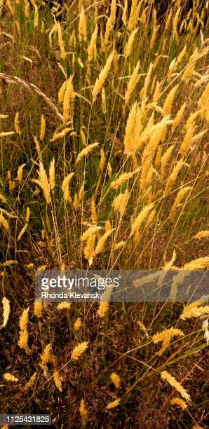 wild grasses in a chilean meadow - rhonda klevansky ストックフォトと画像