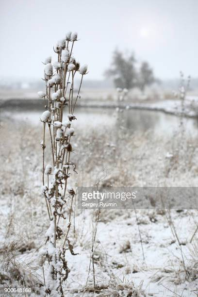 Wild grasses under the snow.