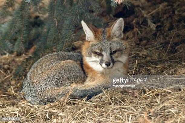 wild gray fox shelters under blue spruce pine tree colorado foothills - gray fox stock photos and pictures