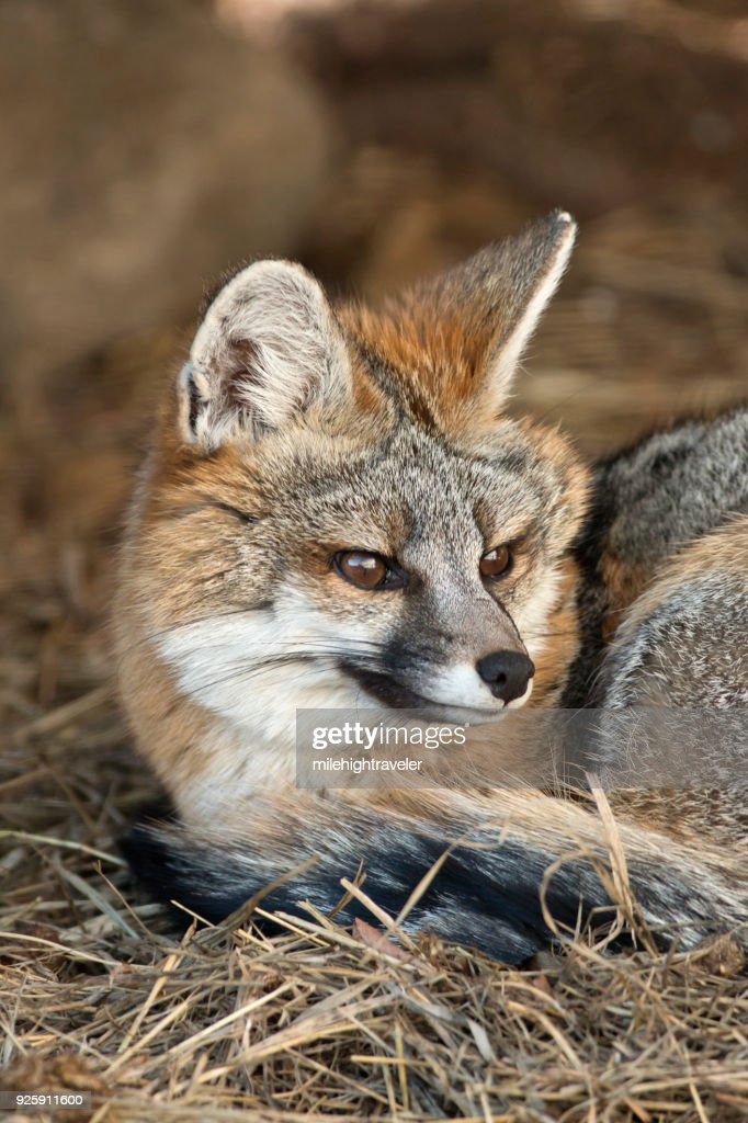 Wild gray fox shelters under blue spruce pine tree Colorado foothills : Stock Photo