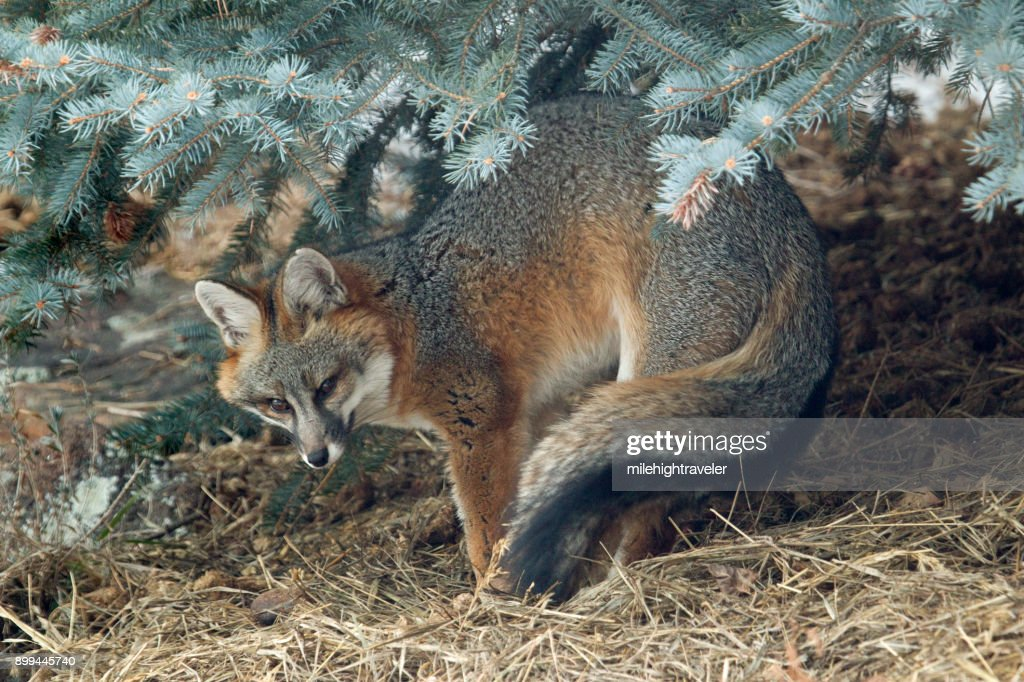 Wild gray fox stretches under blue spruce pine tree Colorado foothills : Stock Photo