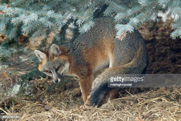 wild gray fox stretches under blue spruce pine tree colorado foothills - gray fox stock photos and pictures