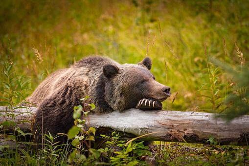 Wild Grizzly Bear 626194278