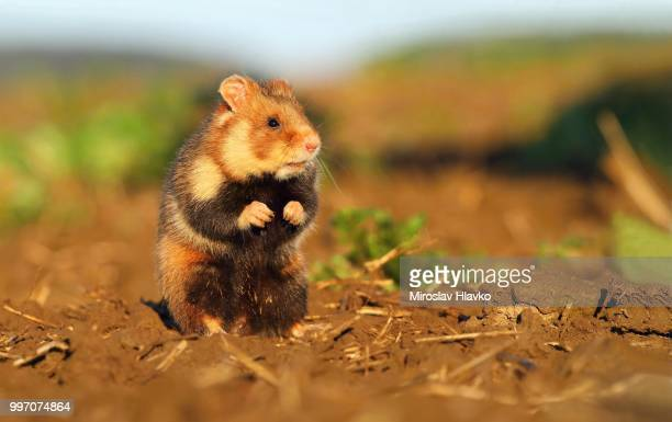wild hamster (cricetus cricetus) - hamster photos et images de collection