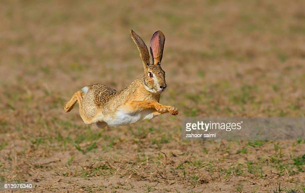 wild hare - hare stock pictures, royalty-free photos & images
