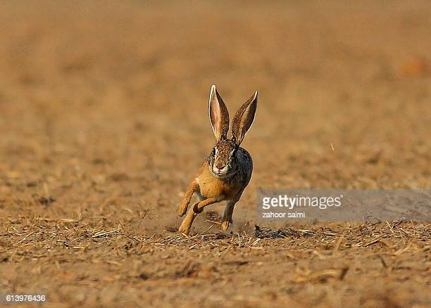 wild hare - hare stock photos and pictures