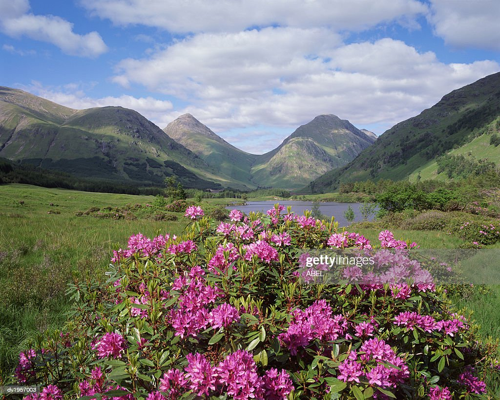 Wild Heather Growing in the Scottish Highlands : Stock Photo