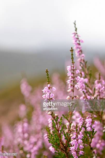 Wild Heather in Highland Scotland