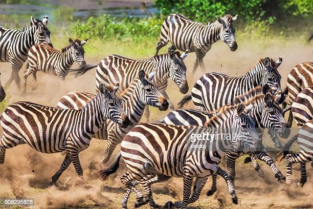 Wild herd of zebras flees in central Serengeti / Tanzania.