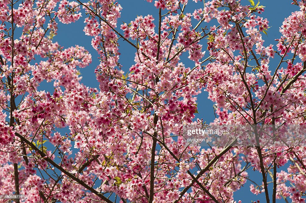 Wild Himalayan cherry blooming : Stock Photo