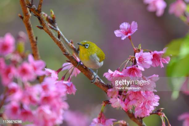 wild himalayan cherry with oriental white-eye, yellow bird enjoy with  wild himalayan cherry  background - mois de mai photos et images de collection